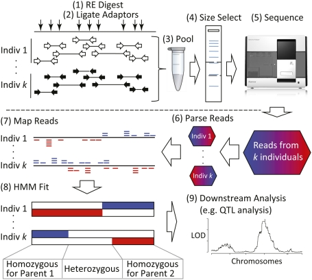 Multiplexed shotgun genotyping for rapid and efficient genetic mapping.